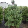 Black Pine Quality
