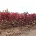 Bloodgood Japanese Maples at our Monmouth County, NJ Nursery