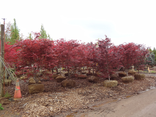 Excellent Selection Of Deciduous Trees And Evergreen At Out