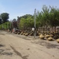 Selection of Deciduous Trees - Springfield yard