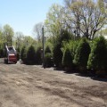 Selection of evergreen trees in our Springfield, New Jersey wholesale nursery