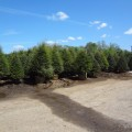 Hemlock Inventory - New Jersey landscapers