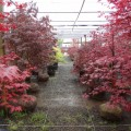 Japanese maple selection in our Colts Neck NJ Wholesale Nursery