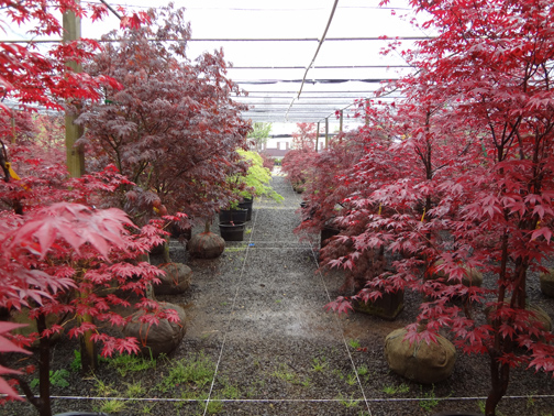 Anese Maple Selection In Our Colts Neck Nj Whole Nursery
