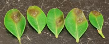 Photograph of boxwood leaf damage