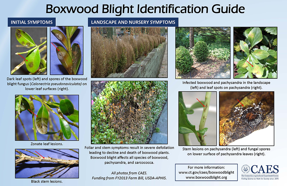 Excellent Pictures Of Boxwood Blight